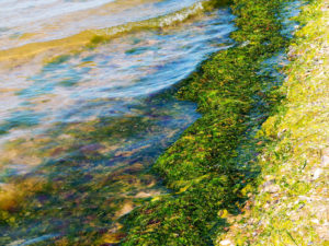 Rotting algae was thrown to the shore of the reservoir. Environmental pollution problem. Beach pollution. Eco Disaster.