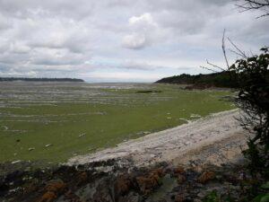 algues vertes_SBAA